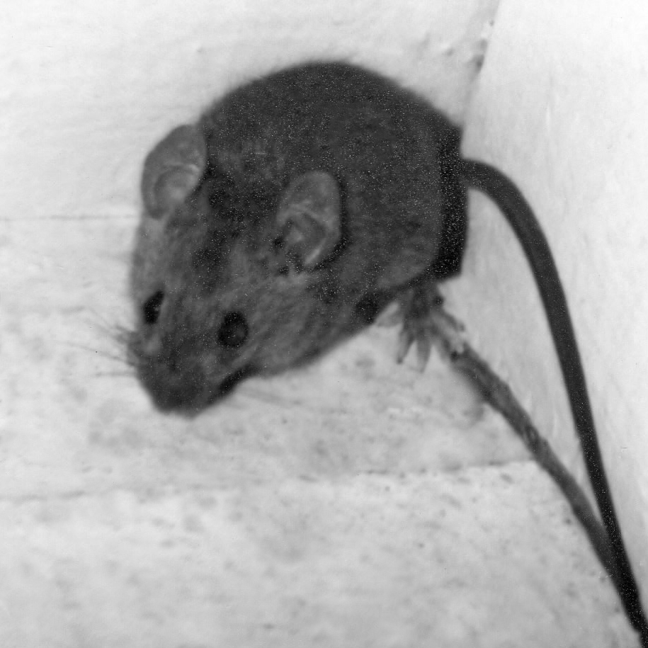 image of Tedoc Mountain mouse