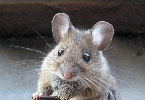 image of Walnut Street mouse