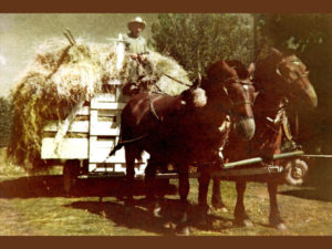 Rube George, Frances' great uncle, on mule-drawn hay wagon